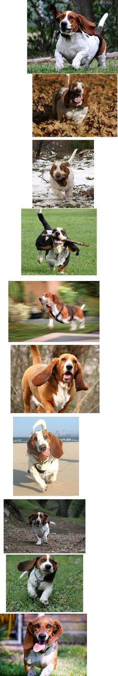 Basset hound comp.