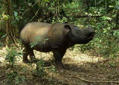 Sumatran Rhinoceros | Sumatran Rhino Sancutary | The International Rhino Foundation Blog
