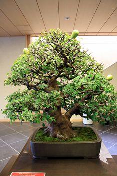 花梨 Karin (Chinese Quince) - 盆栽美術館 - bonsai museum | airoplan… | Flickr - Photo Sharing!