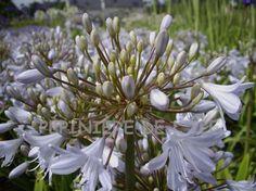 Agapanthus Silver Mist Pépinière de l'Ile -- Ile de Bréhat