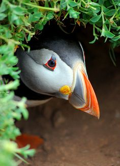 Puffin- Reminds me of my trip to Maine Beautiful Birds, Animals Beautiful, Cute Animals, Sea Birds, Wild Birds, Puffins Bird, Photo Animaliere, Little Birds, Fauna