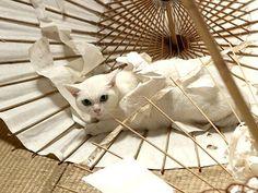 Twitter / nekozamuraiinfo: 玉之丞さま…おいたが過ぎまするぞ。 #猫侍 #白猫