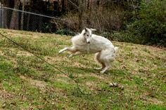 Fortenberry, Bill - Borzoi, 1, Running, Lf  Jumping, I