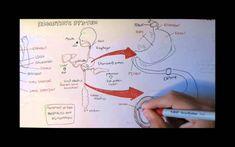 Digestive System Anatomy