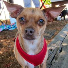 Penny is a sweet 10 pound little Chihuahua mix girl that loves loves loves to cuddle.  She also loves to fetch toys, and if you get tired of throwing the toys, she will toss them for herself.  She's a very nice girl who would enjoy a home without...