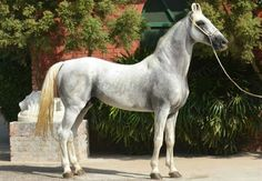Mawari horse. A rare breed  from the Marwar region of India. Once the choice of warriors and royalty, it almost went extinct but is being revived by dedicated breeders. The breed is extremely unique; the most obvious distinction is its curling inward ears.