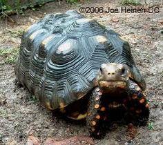 Redfoot Tortoise.
