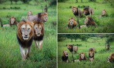 The all-boys club of lions that rules an area in Kruger National Park