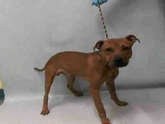 TO BE DESTROYED 09/07/16**KISSED THE ASSESSOR DURING HIS EVALUATION!**Meru is just over 1 year and needs his Urgent family tonight to hear his story. He was brought into the ACC as a stray, a wiggly, happy little boy who even kissed the assessor during his safer test. He demonstrated his playfulness and puppyish ways while trying to make himself as comfortable as he can while at