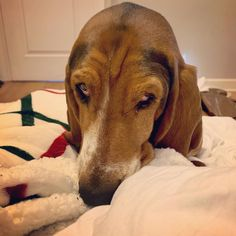 What do you mean tomorrow is Monday? Hound Dog, Basset Hound, Tomorrow Is Monday, Puppy Dog Eyes, What Do You Mean, Dog Days, Dogs, Stuff To Buy, Bloodhound