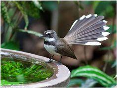 Pied Fantail (Rhipidura nigritorquis) Bird Costume, Mindanao, Philippines, Birds, Watercolor, Drawings, Flycatchers, Pictures, Animals