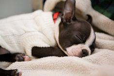 Boston Terrier Love, Boston Terriers, I Love Dogs, Puppy Love, Cute Puppies, Cute Dogs, Cute Puppy Photos, American Dog, Bully Dog
