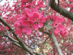 Crabapple blossoms.   One of my top 5 smells!