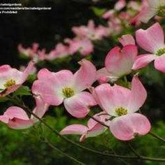 Dogwood Tree - several other ideas and information on this page.