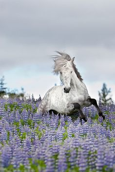 Ísak frá Oddhóli  Took this picture for the horse magazine Eidfaxi. www.eidfaxi.is  The stallion is Ísak frá Oddhóli. We took him to this wild flowerbed and let him loose there. He than started playing, running back and forth, jumping and showing off.