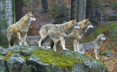 Wolfs again in the nature of Czechia