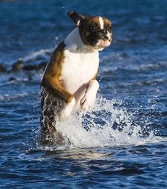 """""""The sharks are coming!  I gotta get out of here QUICK!""""  (boxer)"""