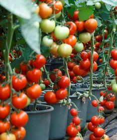 A paradicsom termesztése és intenzív hajtatása Vegetables, Food, Meal, Essen, Vegetable Recipes, Hoods, Meals, Eten
