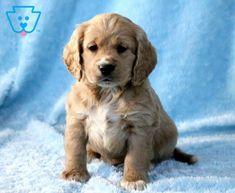 Bandit | Cockapoo Puppy For Sale | Keystone Puppies