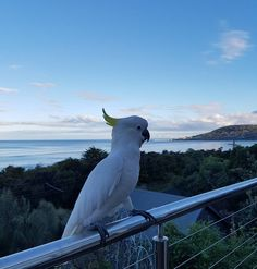 #cockatoo #lorne #greatoceanroad by bogzyrox http://ift.tt/1IIGiLS