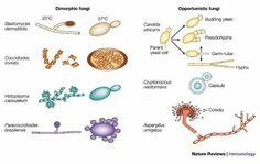 Dimorphic fungi and opportunistic fungi