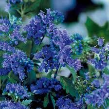 Blue mist shrubs are appropriately named as it is shrouded in beautiful blue blooms from mid to late summer.  http://www.butterflybushes.net/blue-mist/