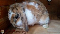 Kaninchenfan Lucky - Mein Kaninchenloch: Bella while cleaning her fur (^_~)   #rabbits #kaninchen #hasen #hare   http://kaninchenfanlucky-meinkaninchenloch.blogspot.de/2014/06/bella-while-cleaning-her-fur.html