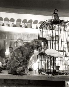 Child, Cat and Dove   by Robert Doisneau