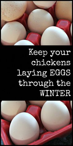Keep Your Chickens Laying Eggs Through the Winter – Our Idaho Roots. With link to homemade chicken feed recipe. Coconut oil is one of my secrets to helping chickens lay more eggs!