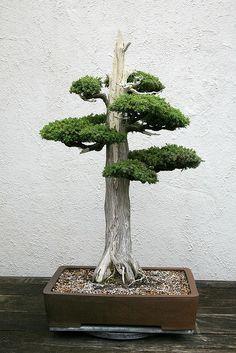 RK:Foemina Juniper (Juniperus chinensis) 'Foemina' | Flickr - Photo Sharing!