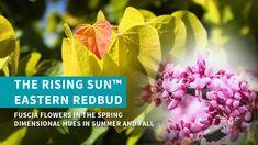 The Rising Sun™ Eastern Redbud Tree Eastern Redbud Tree, Enchanted Garden, Small Trees, Landscaping Plants, Sunrise, Landscape, Spring, Flowers, Scenery