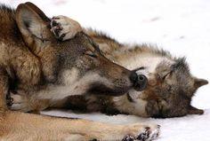lobo iberico en campoo