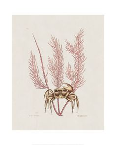 Mark Catesby - The Sand Crab, The Natural History of Carolina, Florida, and the Bahama Islands, 1771 - Art Prints and Posters