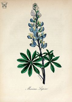 Mexican Lupine, Lupine. (Lupinus perennis). The American flora vol. 3 (1855) | by Swallowtail Garden Seeds