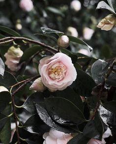 winter camellias | @jessicacomingre.