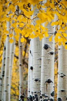 53 Ideas birch tree drawing search for 2019