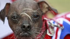 And the winner is ... Mugly! Judges crown the Chinese Crested 2012's Ugliest Dog. What do you think? Any chance he's so ugly he's cute? At any rate, Mugly is proof that there IS someone out there for every dog.