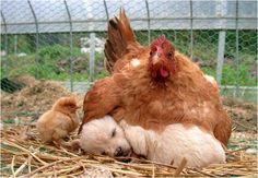Puppy Sleeping under hen.