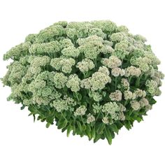 Plant-White-Flowers.png