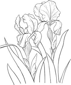 Garden German Iris or Iris Germanica Coloring page