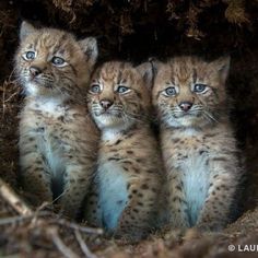 3 Eurasian Lynx Kittens ~ In The Swiss Alps. The Kittens are approx. 3 weeks old. For the next few weeks, their Mother will move them to different dens. (Photo By: Laurent Geslin. Book: 'Wild Cats of The World' By: Dr. Small Wild Cats, Small Cat, Big Cats, Cats And Kittens, Cute Cats, Animals And Pets, Baby Animals, Cute Animals, Beautiful Cats