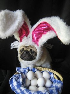 I did the Easter Bunny's job this year #pugbunny #easter