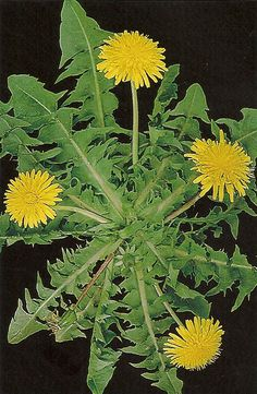 Dente-de-Leão Healing Herbs, Medicinal Plants, Unusual Flowers, Natural Health Tips, Ketosis Diet For Beginners, Exotic Plants, Flower Seeds, Natural Medicine, Science And Nature