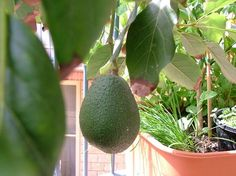 "Growing Avocados in container tips -  ""Potted Vegetable Garden Lifestyle"""