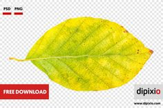 Free photo of beech leaf for download on www.dipixio.com #freephoto #dipixio #freedownload #freebie