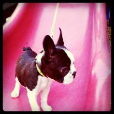 Penelope the Boston Terrier on Puppystream.me