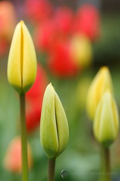 Spring Tulips by Anne McKinnell