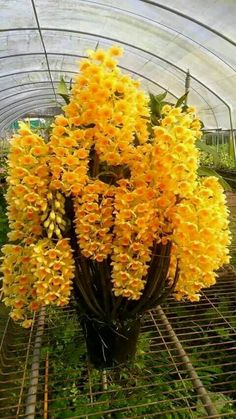 Rare Cymbidium orchid seeds African Cymbidiums seeds,Phalaenopsis bonsai flower seeds for home garden potted orchis plant Orchid Seeds, Orchid Plants, Exotic Plants, Flower Seeds, Orchid Flowers, Unusual Flowers, Rare Flowers, Amazing Flowers, Beautiful Flowers