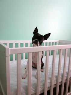 Boston Terrier Baby. I'm sure we will thoroughly test out a future cribs by placing snubbed nose & Mutt dog into it.