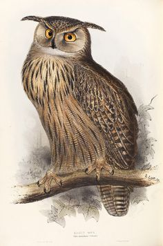Eagle-Owl by Edward Lear